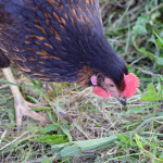 Backyard Chicken FAQs – How to look after Backyard Poultry