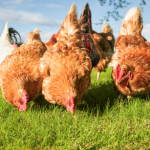 How to keep chickens healthy