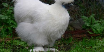 Silky Bantam Chickens are Very Cute