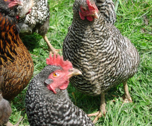 Barred Rock Chickens are popular amongst chicken breeds