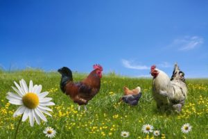 Backyard chickens are garden friendly