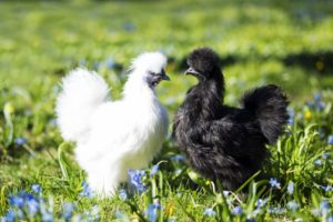 Bantam chickens are garden friendly