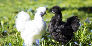 Bantam chickens are garden friendly