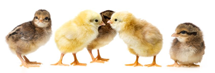 Baby Chickens Faq How To Look After Baby Chicks