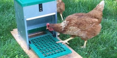 chicken-treadle-feeders-are-great